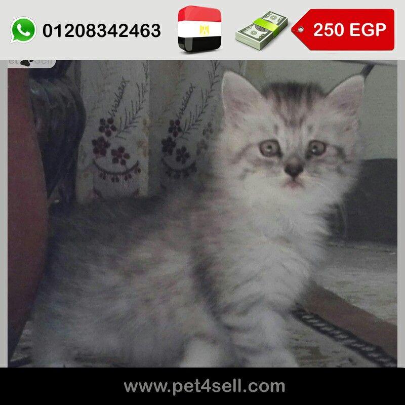Egypt Mansoura Persian Cat Moonface Chinchilla Contact 01208342463 Pet4sell Cats Persian Cat Animals