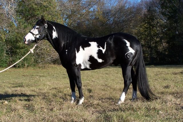 RC SLICK JACKMCCUE Black paint horse stallion Horses