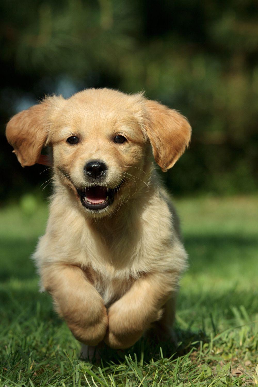 Goldenr De Retriever Welpen Susse Hunde Susse Hunde Welpen