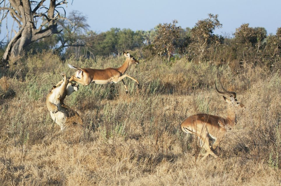 Lioness attacking impala.