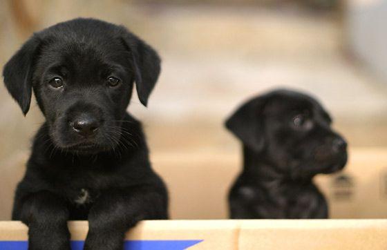 Labrador puppy @emmiebean