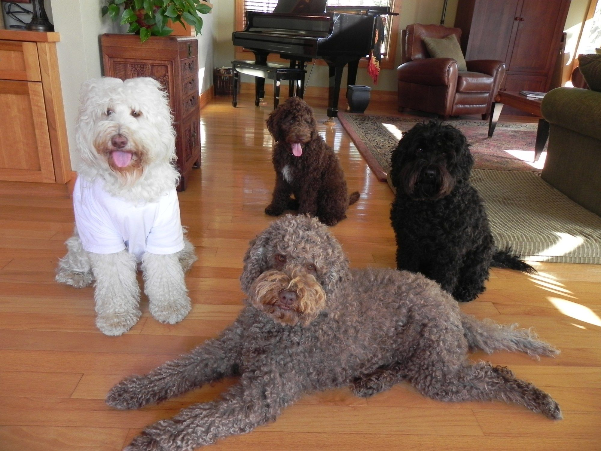 Labradoodles Vs Goldendoodles Aussiedoodle And Labradoodle
