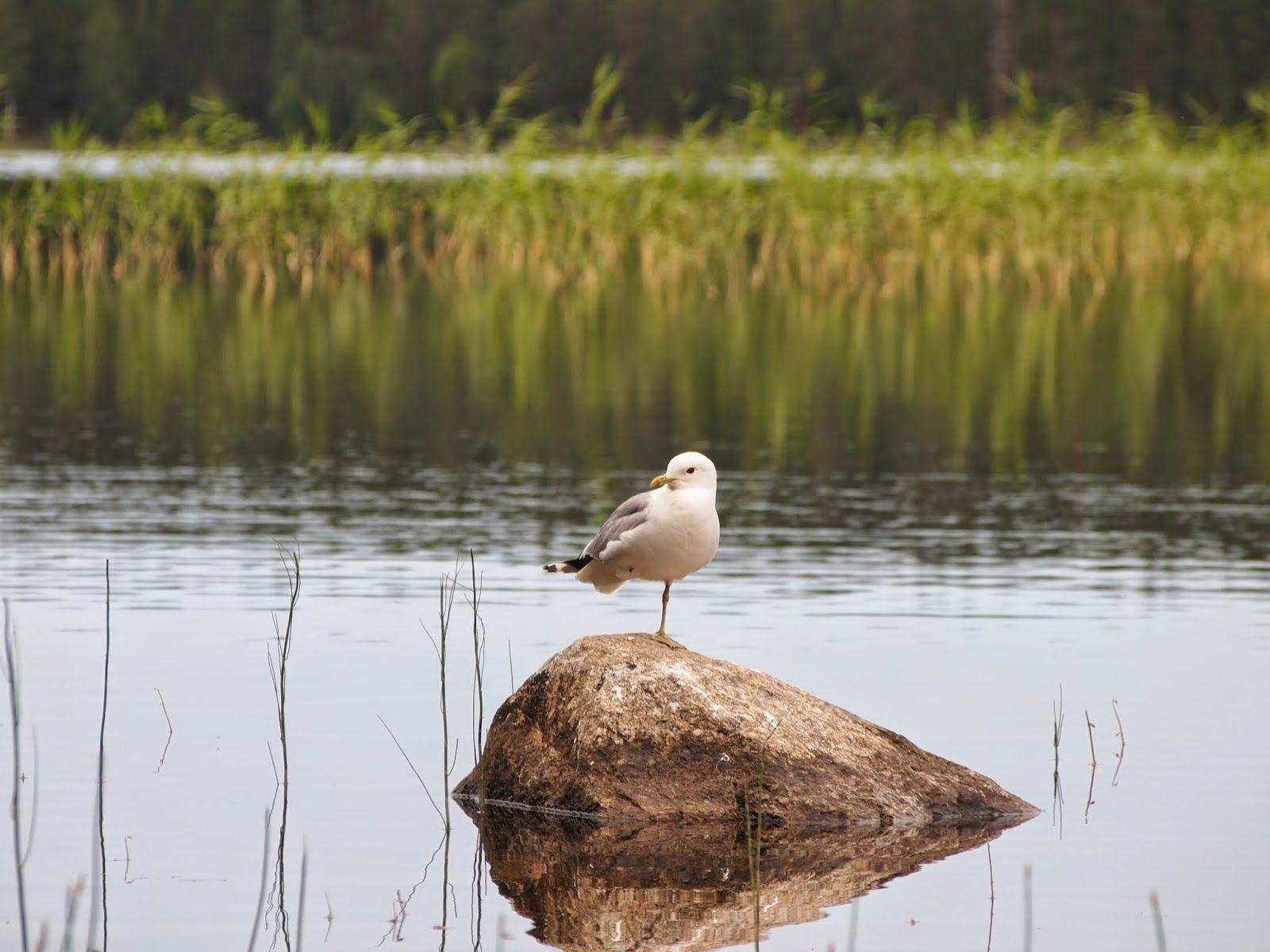 luonto kuvat ja kortit: harmalokki