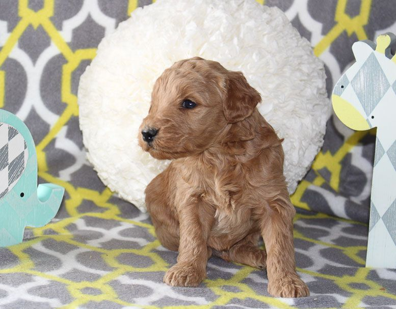 Justice A Male Goldendoodle Puppy For Sale In Goshen In Find Cute Goldendoodle Pupp Goldendoodle Puppy For Sale Goldendoodle Puppy Miniature Pinscher Puppy