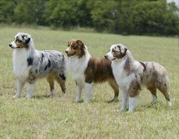 Australian Shepherd Smart Working Dog Australische Schaferhunde Australischer Schaferhund Arbeitshunde