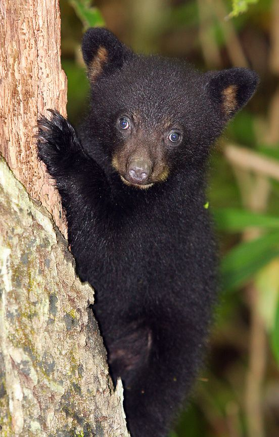 Black Bear Cub at Roaring Fork- Great Smoky Mountains, USA.
