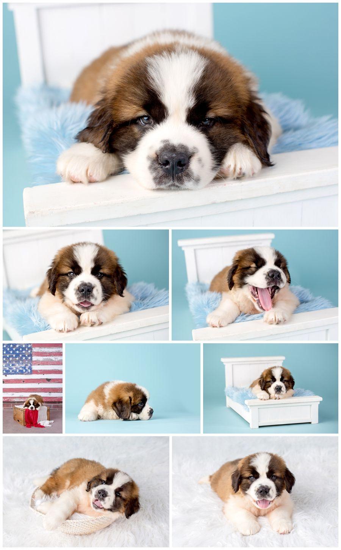 2 Month Old Saint Bernard Puppy | Myrtle Beach Pet Photographer | St