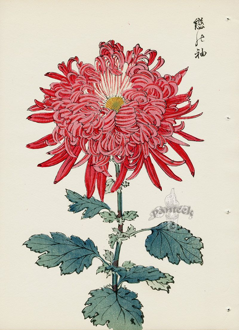 From Art Of The Japanese Chrysanthemum Japanese Woodblock Printing Japanese Chrysanthemum Asian Flowers