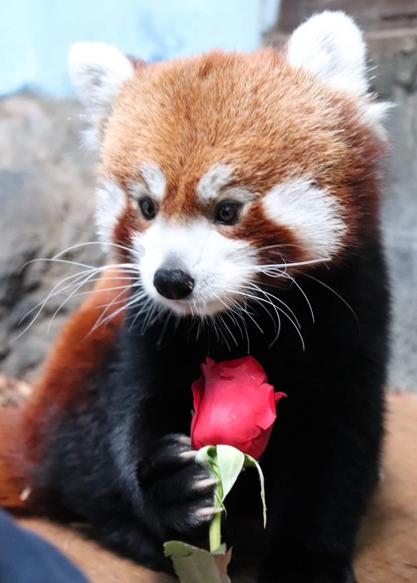 Please Follow Iloveredpandas My Local Zoo Posted Pictures Of Their Special Valentine S Day Enrichment And I Thought You G Red Panda Cute Animals Weird Animals