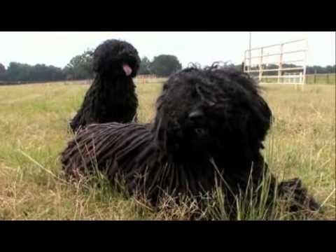 Dogs 101 02 07a Puli Webrip Lks 1 Mkv You