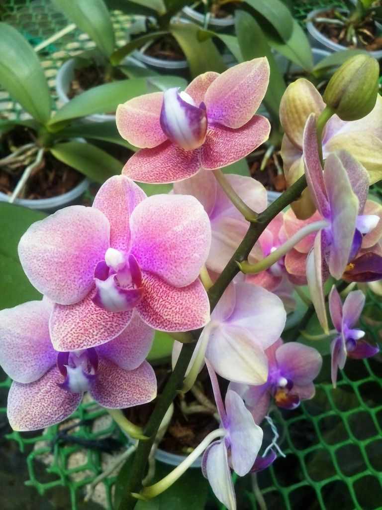 Phal T838 Phalaenopsis Orchid Orchid Flower Orchids Beautiful Flowers