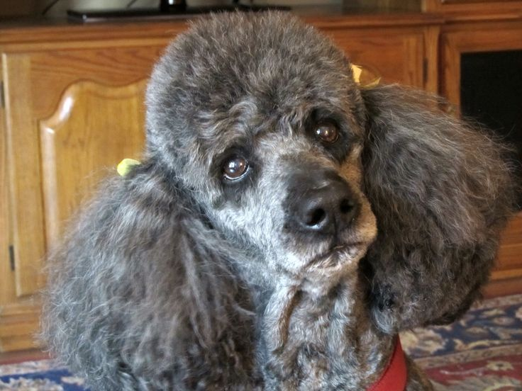 16 Things All Poodle Owners Must Never Forget Poodle Standard Poodle French Poodles