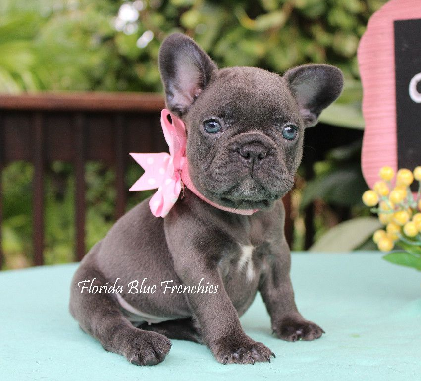 Puppies Florida Blue Frenchies French bulldog blue