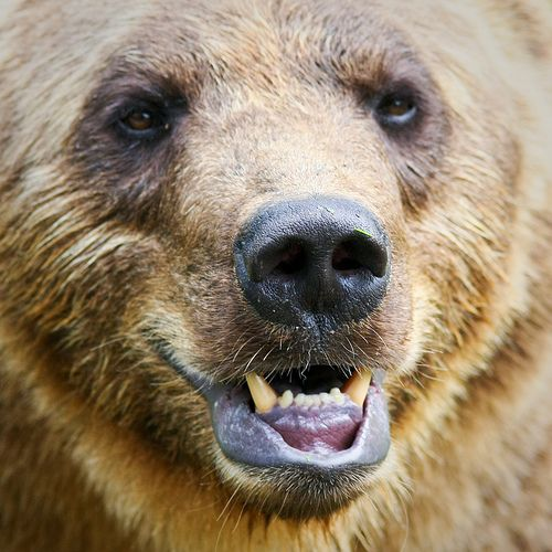 Brown Bear Noses Yahoo Image Search Results Brown Bear Bear Image