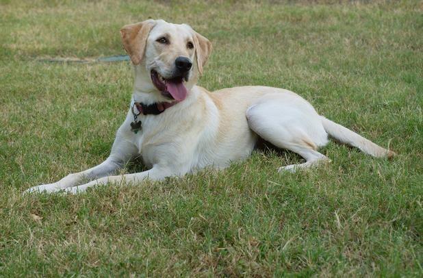 American Labrador Retriever Looks Just Like My Simon Hunde
