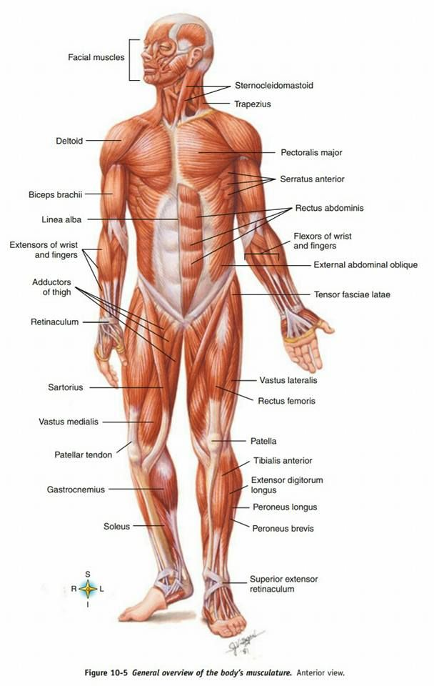 Overview Of All Body Muscles Physiotherapistingravesend