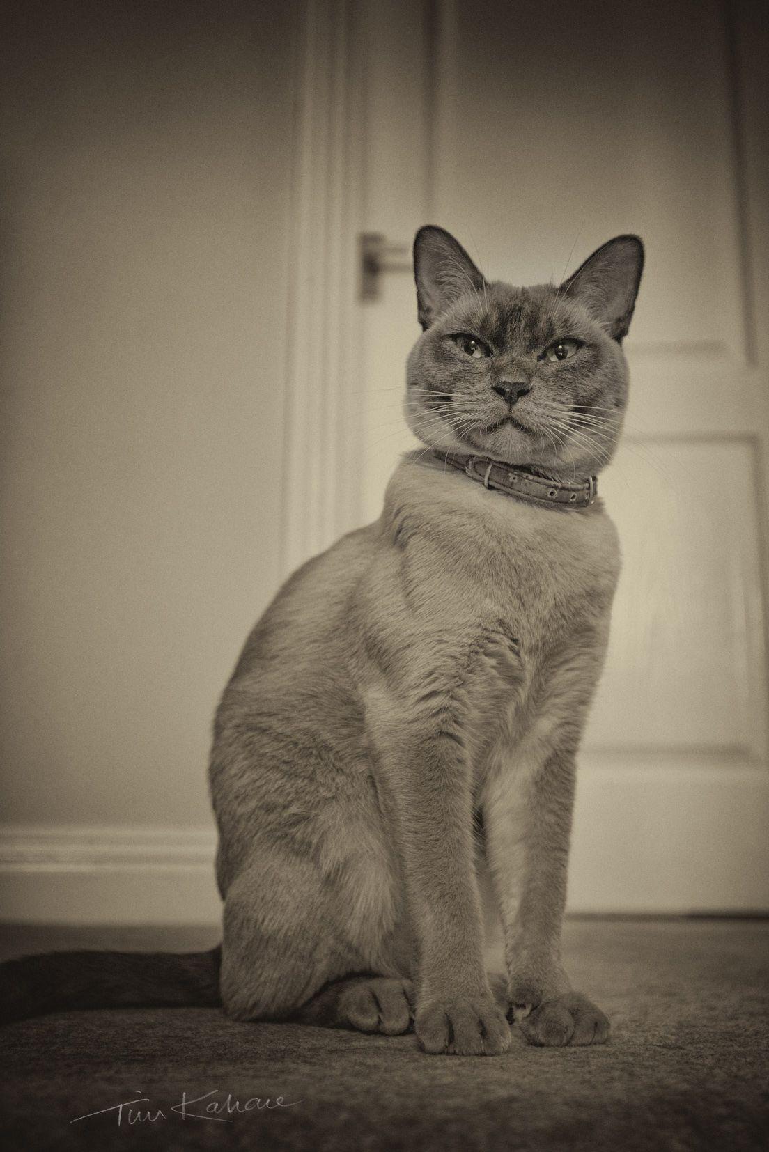 Sassy the Burmese cat Burmese cat, Cats, Animals