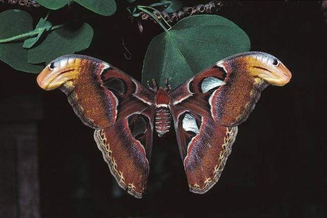 Atlasfalter Attacus Atlas Schmetterling 80 0 X 54 0 Cm Schmetterling Falter Kunstdruck