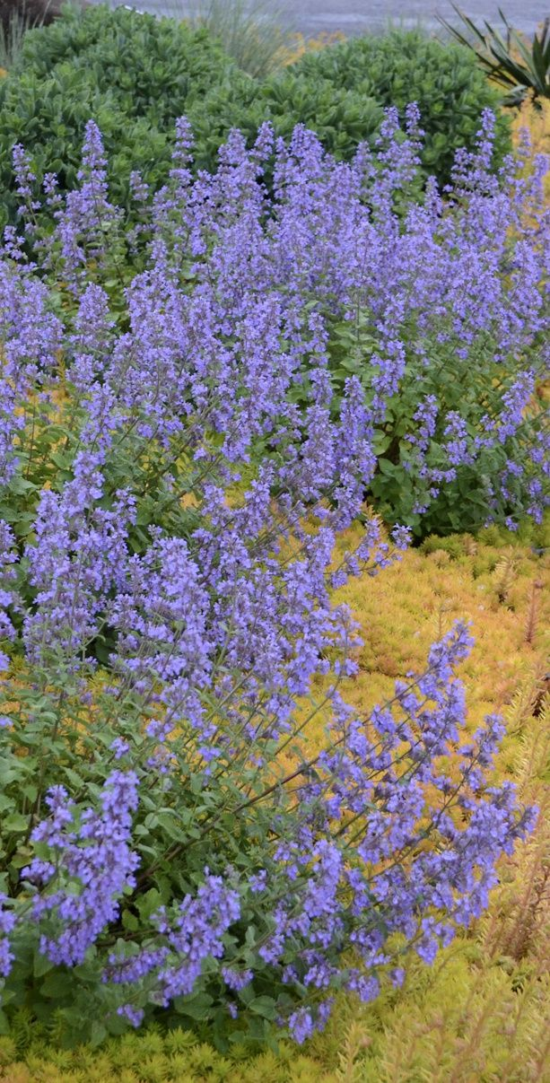 'Cat's Meow' Catmint Nepeta faassenii Deer resistant