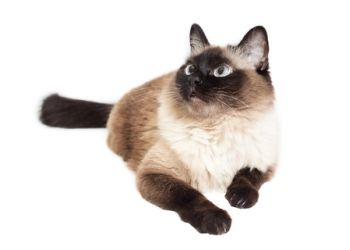 Are There Hypoallergenic Cat Breeds Cat Breeds Balinese Cat