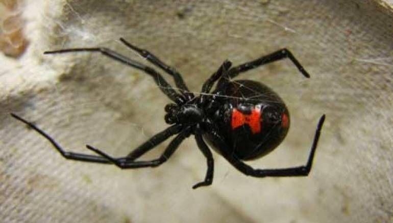 ما هو تفسير رؤية العنكبوت الاسود في المنام العنكبوت العنكبوت الاسود العنكبوت الاسود للحامل Black Widow Spider Poisonous Spiders Spider Bites