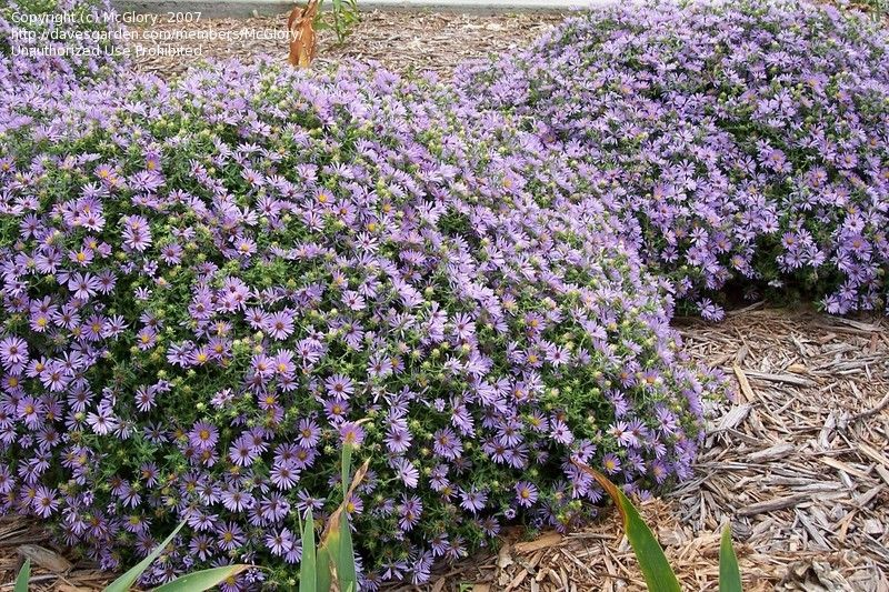 Aromatic Aster Symphyotrichum Oblongifolium October Skies Water Wise Landscaping Organic Plants Native Plants