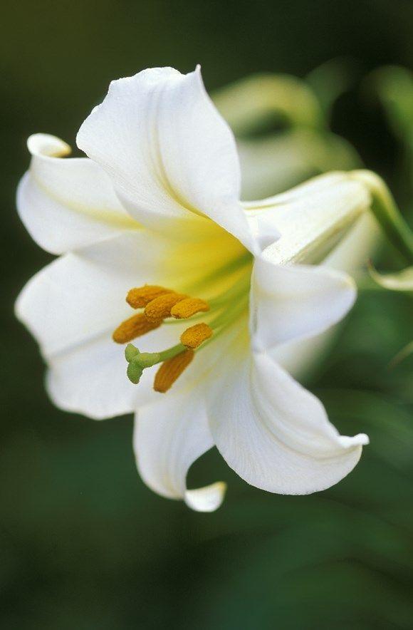 Lilien Regale Königslilie weiss
