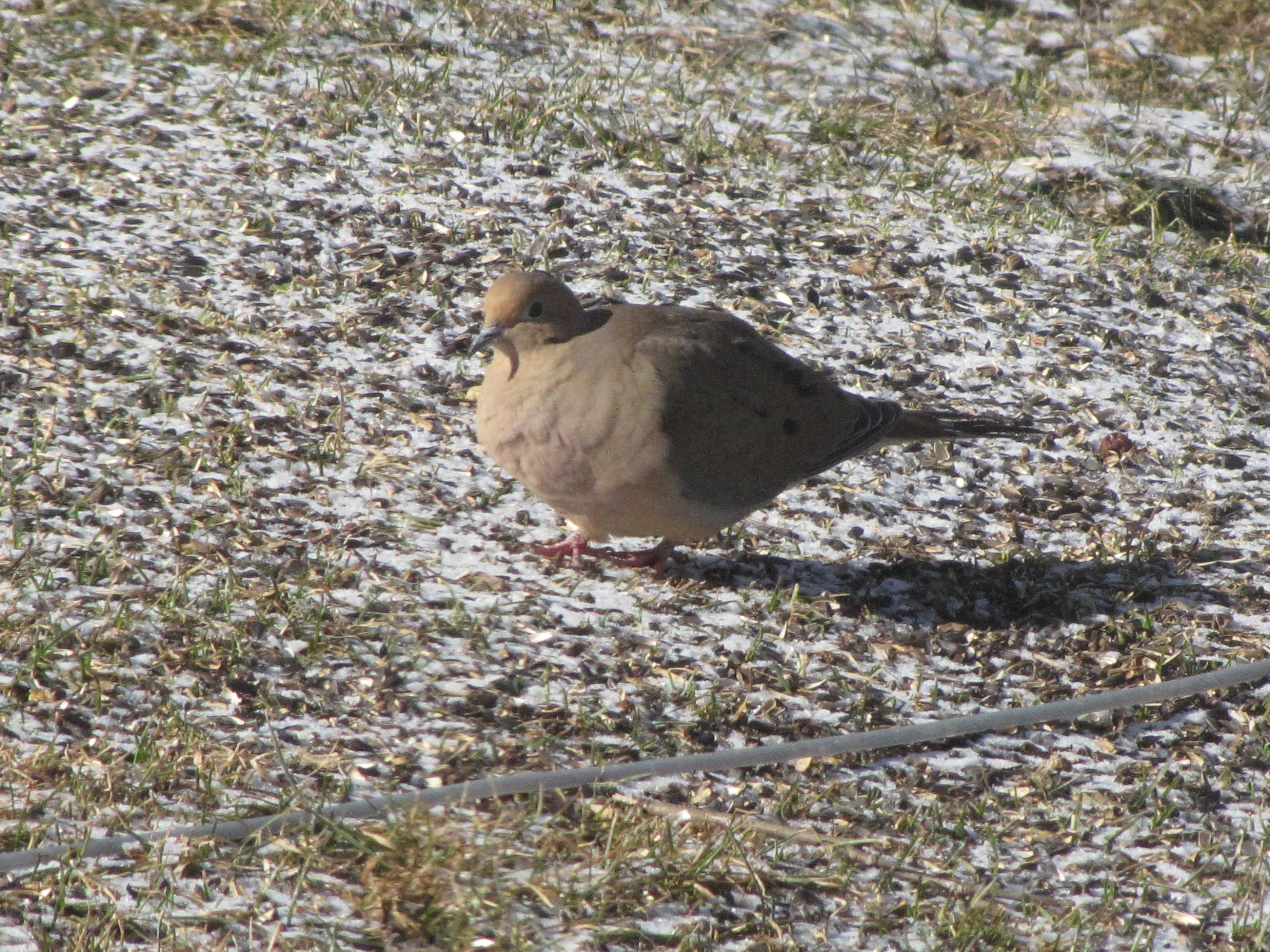 Mourning Dove, spotted in Chazy, NY