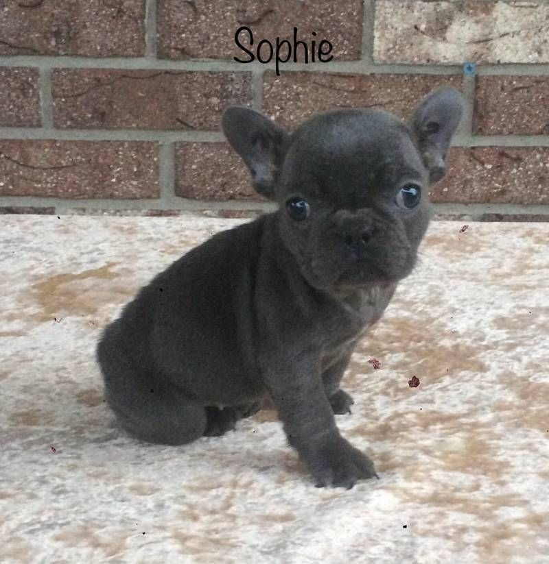 French Bulldog Puppies That Doggy In The Window That Doggy In