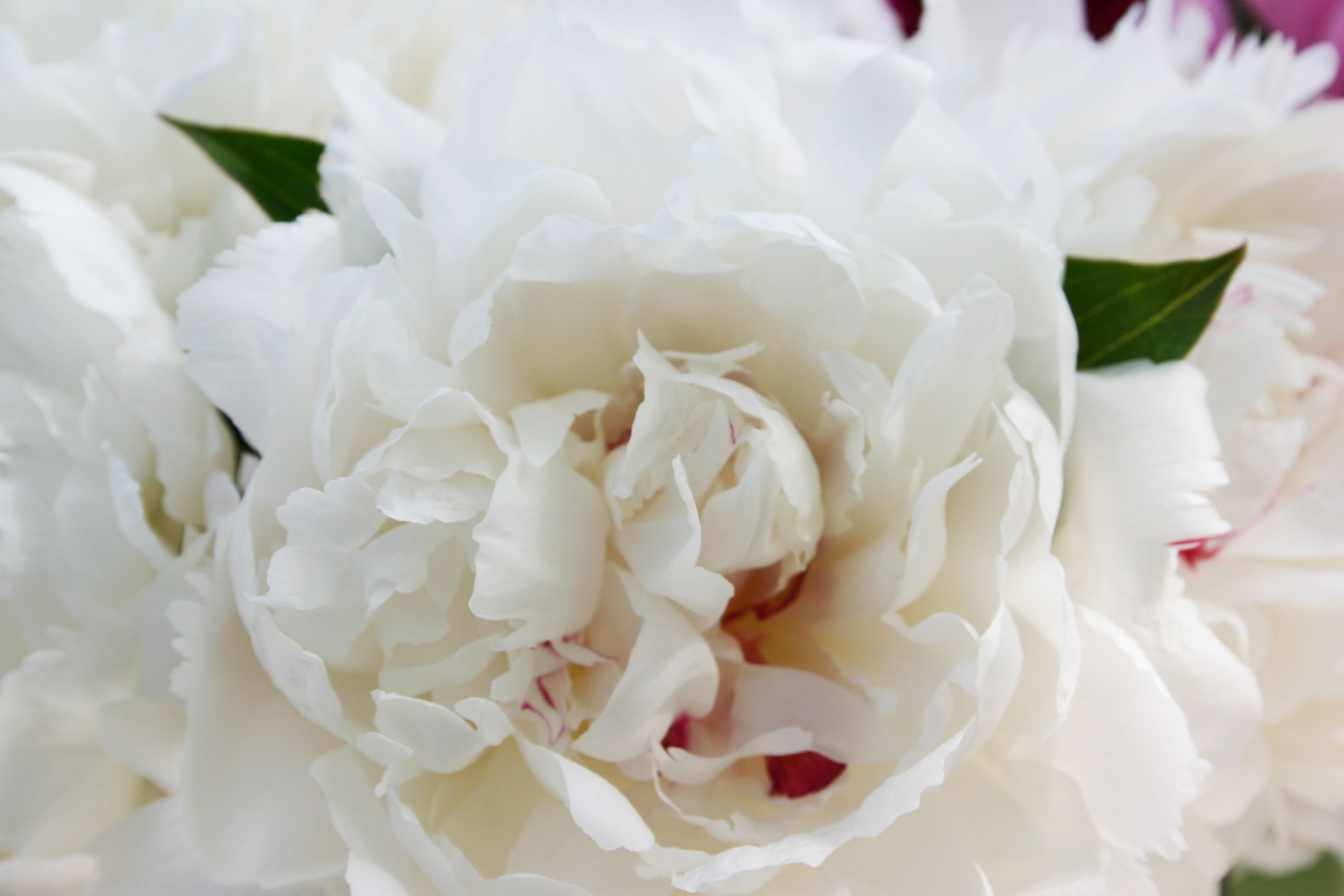 White Long Stem Florist Quality Peony Flower Buds Wholesale Direct