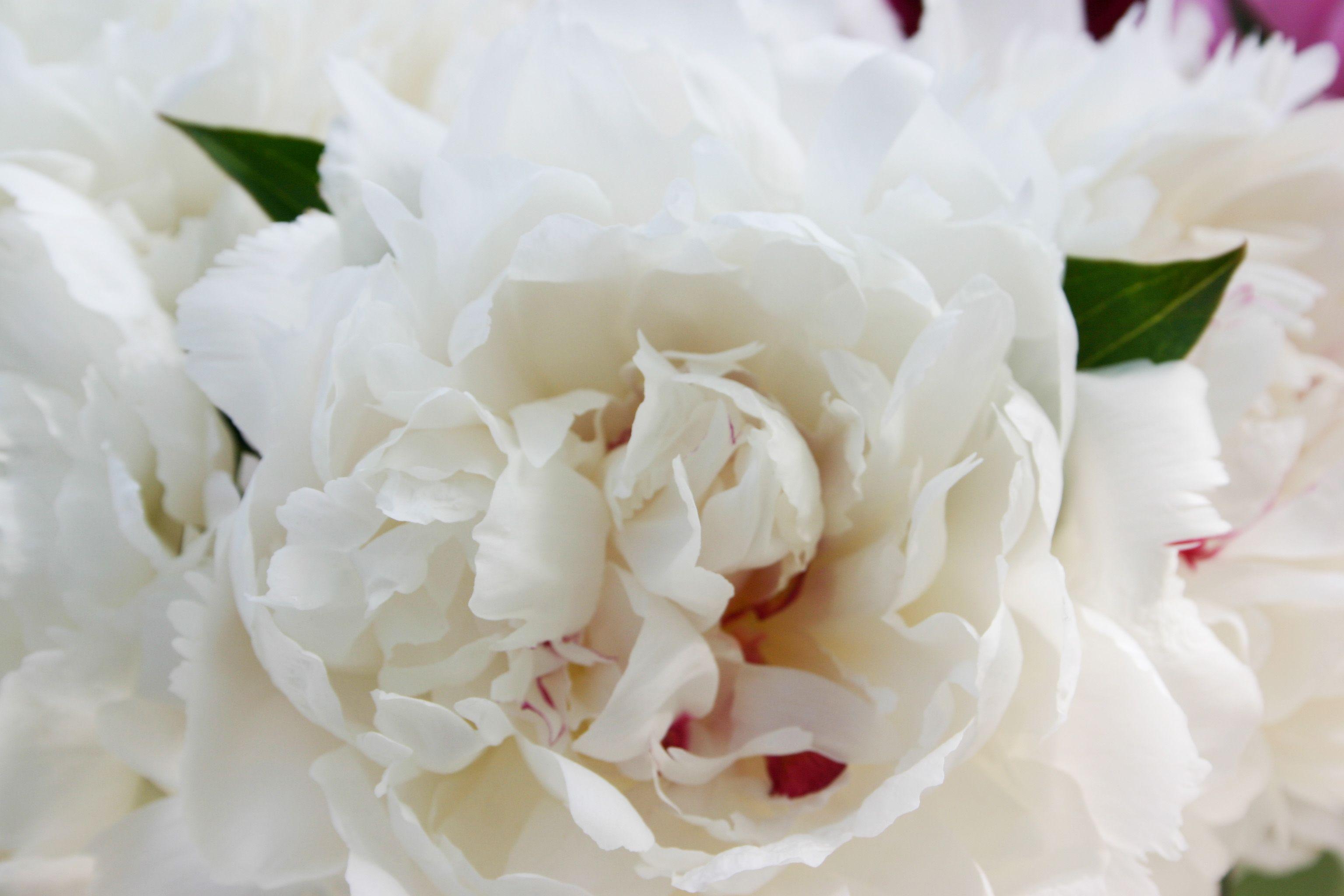 White long stem florist quality peony flower buds wholesale direct ...