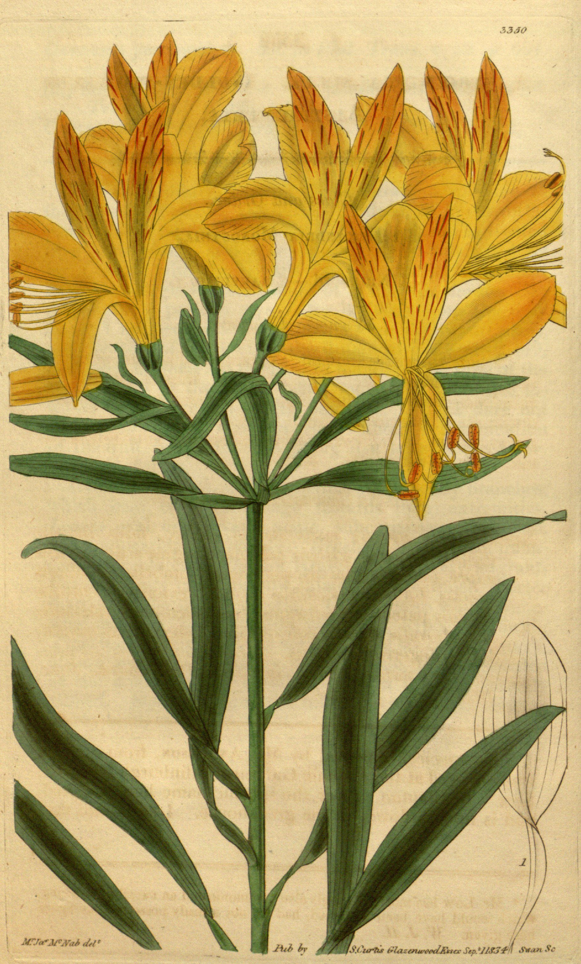 [+] Alstroemeria Aurea Graham