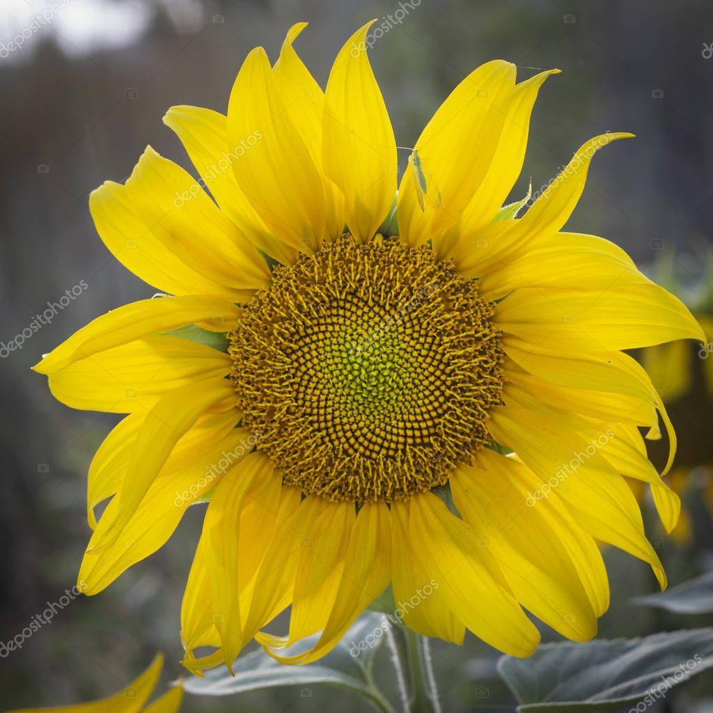 Young Sunflower Flower Close Up Soft Focus Stock Photo Aff Flower Close Young Sunflower Ad I 2020