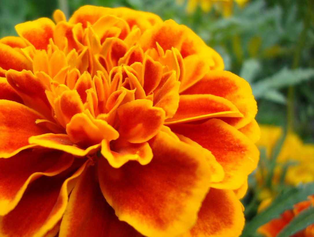 Birth flowers October Birth month flowers, Birth