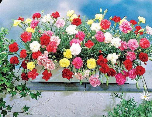 ఈన డ Telugu News Latest Telugu News Breaking Telugu News Annual Flowers Dianthus Caryophyllus Flower Seeds