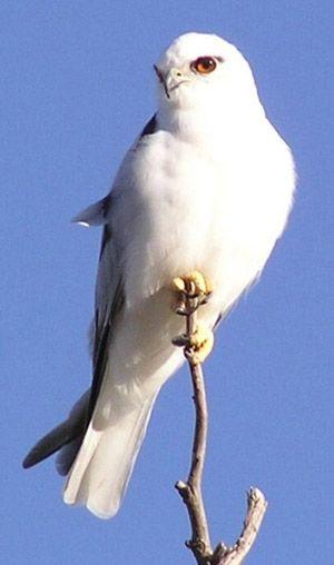 Black Shouldered Kite (Elanus notatus)