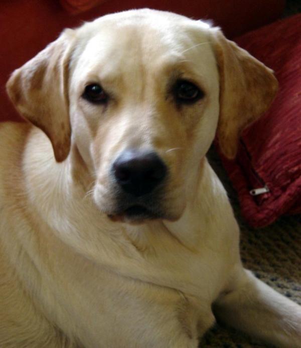 Como Cuidar De Um Cachorro Labrador Labradors Fur Babies And Dog