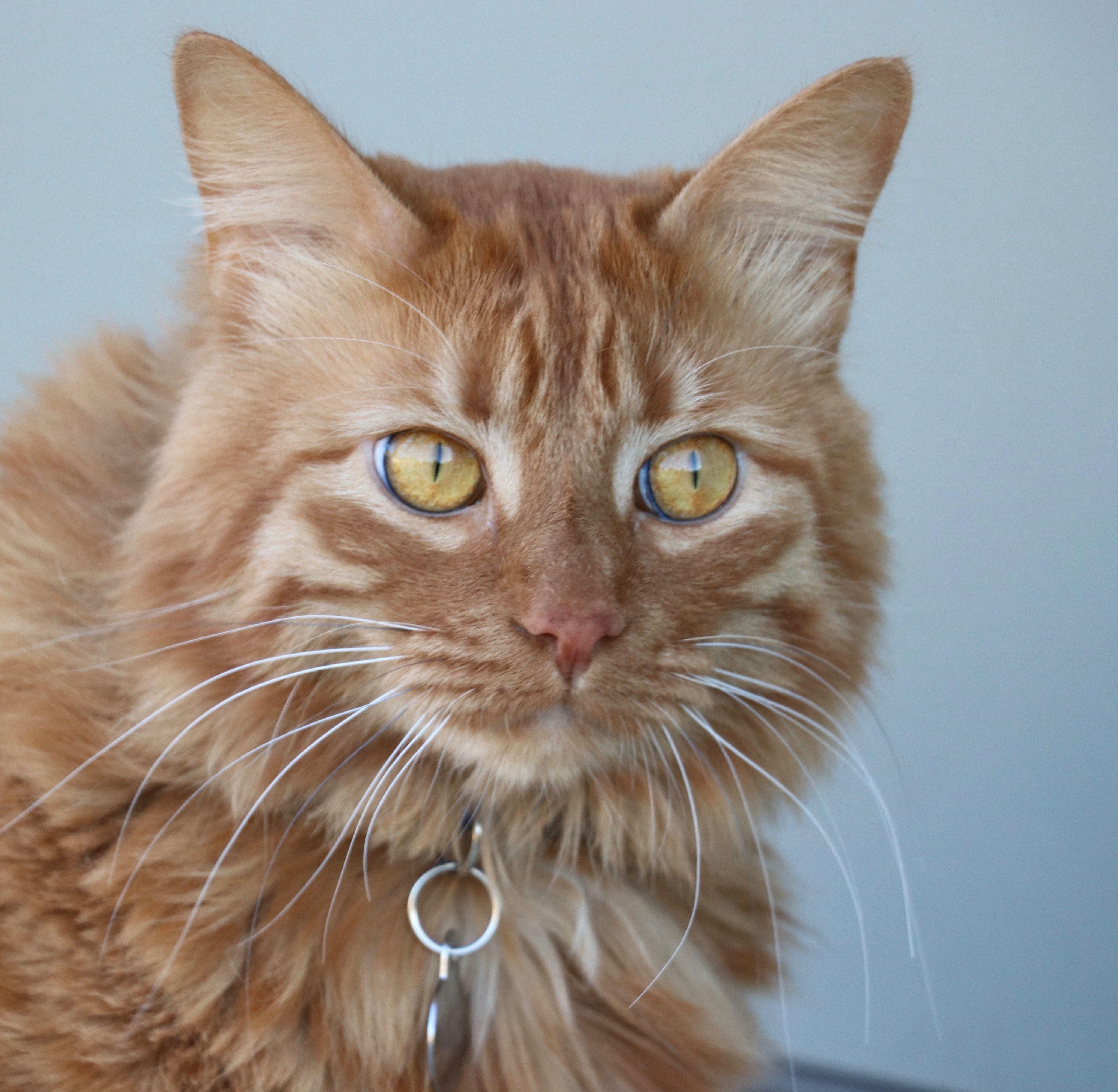 Orange tabby cat Orange tabby cats, Beautiful cats, Long