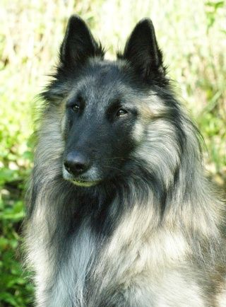 Belgian Shepard Greyhaslan De La Courtavaux Belgian Shepherd Belgian Sheepdog Malinois Dog