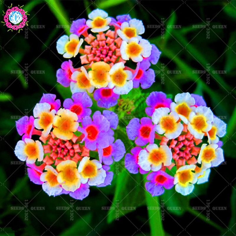 New Arrival 100 Pcs Lot Lantana Camara Flower Seeds Rare Perennial Herb Gorgeous Bonsai Tree Plant For Home Garden Lantana Flower Flower Seeds Unique Flowers