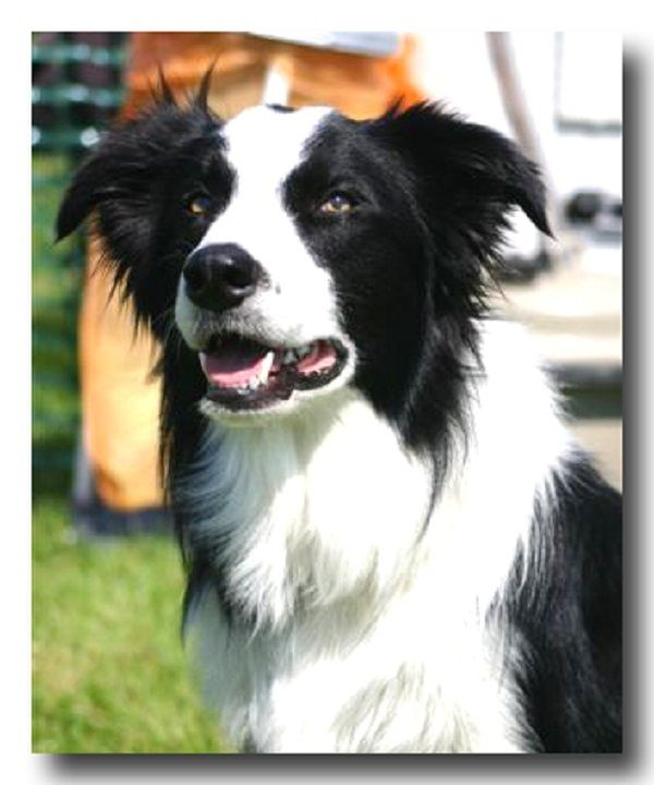 border collie puppies for sale in michigan Zoe Fans Blog