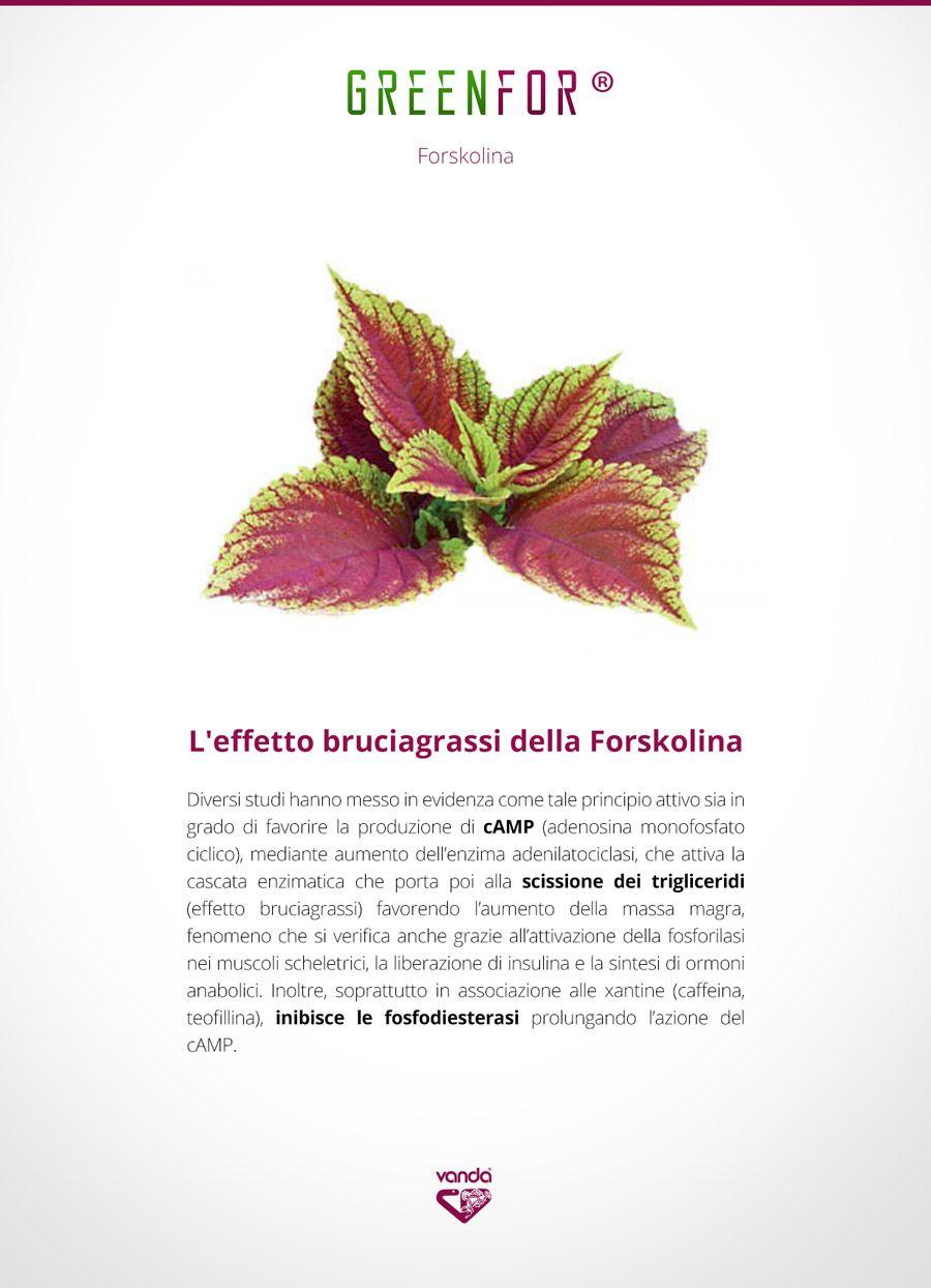 foto della pianta di forskolin