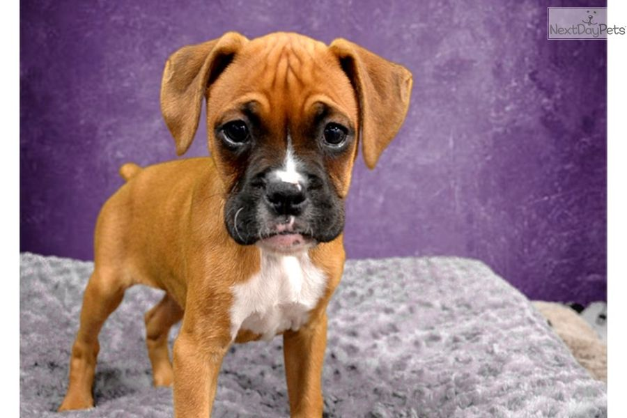 Boxer Puppy For Sale Near Inland Empire California Cc110d2e