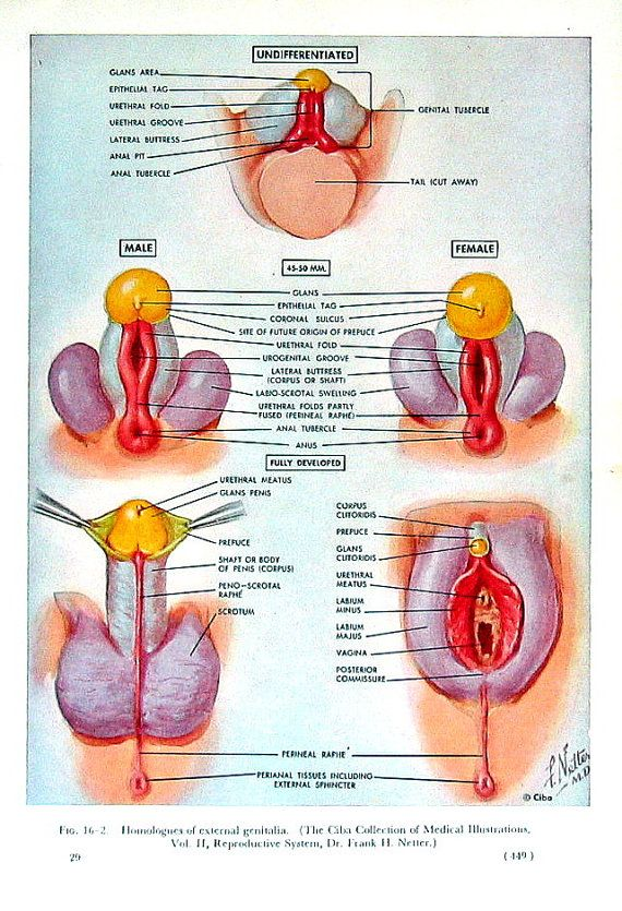 Female anatomy genitalia