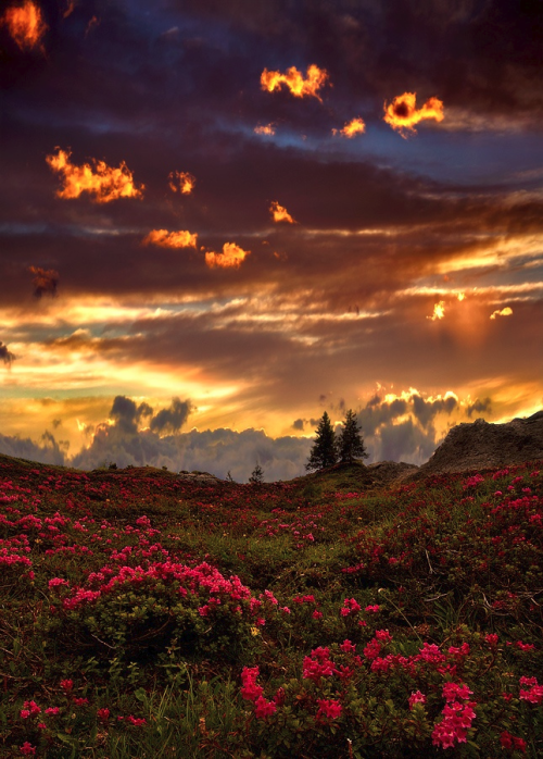 dynamic-contrast:    Rhododendrons at sunsetby  Paolo De Santi