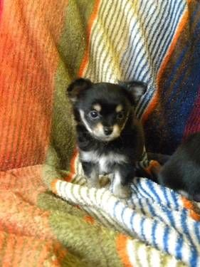 Registered Adorable 8 Week Old Applehead Chihuahua Babies Cute