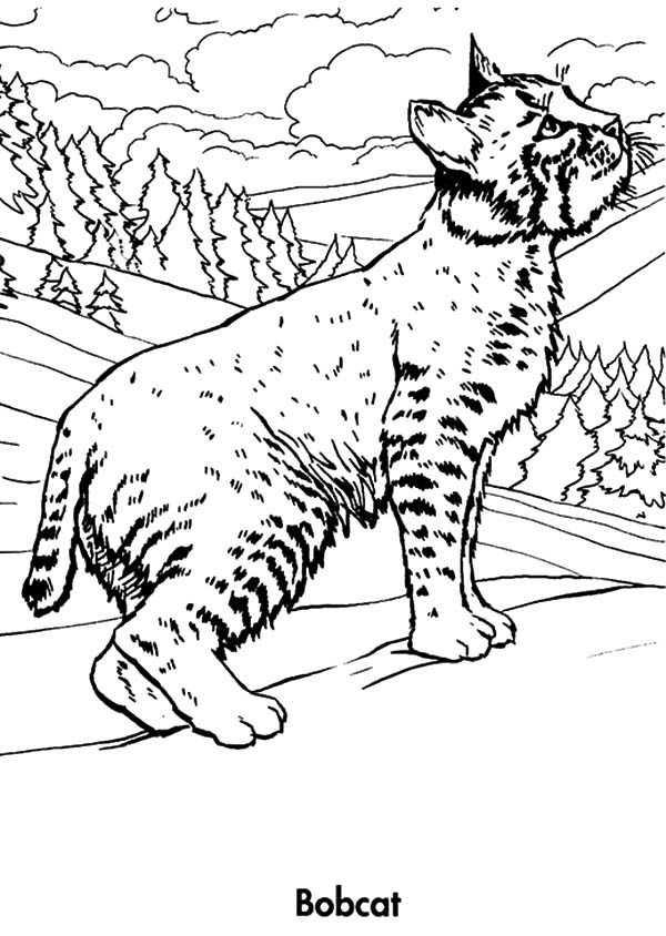 Bobcat Looking For Prey Coloring Pages : Best Place to Color