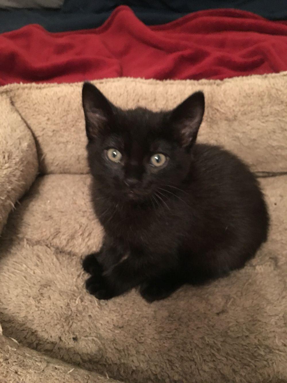Ipswich My New Black Kitten Kittens White Cats Animals
