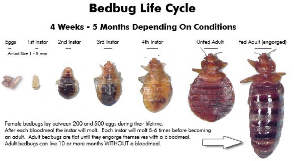 Two Species Of Bed Bug Occur In Australia Cimex Lectularis And