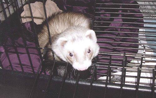 Keeping Your Ferret S Cage Or Room Clean Helps It To Be Happier And Healthier And It Makes Your Home Cleaner Too Ferret Cage Ferret Cute Ferrets